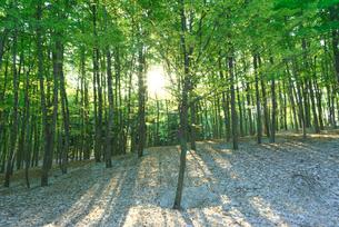 新緑と残雪のブナ林と木漏れ日の写真素材 [FYI03001810]