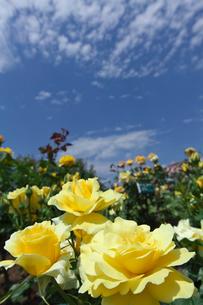 黄色のバラの花の写真素材 [FYI03001880]