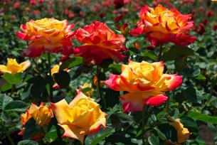 赤と黄色のバラの花の写真素材 [FYI03001915]