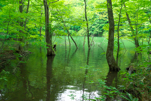 新緑の鶏頭場の池の写真素材 [FYI03001932]