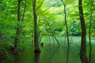 新緑の鶏頭場の池の写真素材 [FYI03001933]