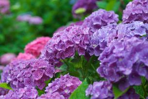 アジサイの花の写真素材 [FYI03001954]
