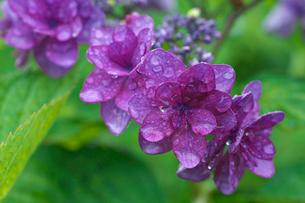 アジサイの花の写真素材 [FYI03001969]