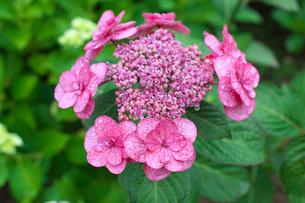 アジサイの花の写真素材 [FYI03001970]