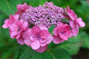 アジサイの花の写真素材 [FYI03001971]