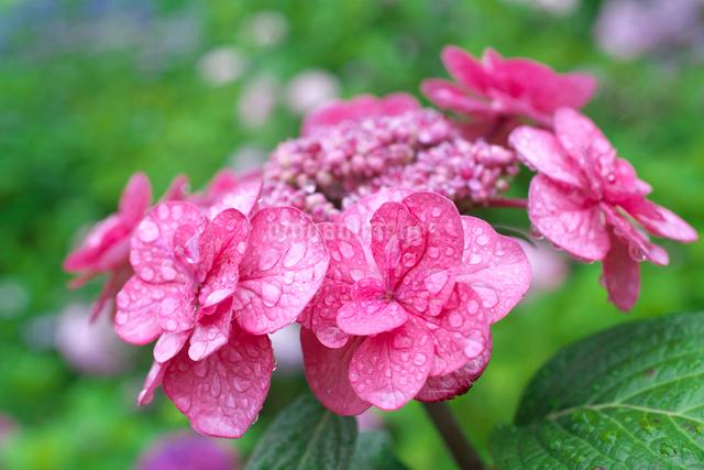 アジサイの花の写真素材 [FYI03001973]