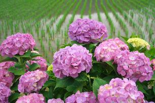アジサイの花と水田の写真素材 [FYI03001977]