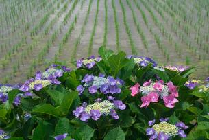アジサイの花と水田の写真素材 [FYI03001978]