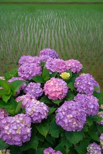 アジサイの花と水田の写真素材 [FYI03001979]