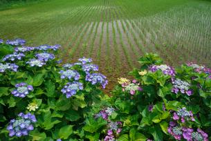 アジサイの花と水田の写真素材 [FYI03001980]