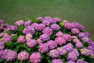 アジサイの花と水田の写真素材 [FYI03001982]