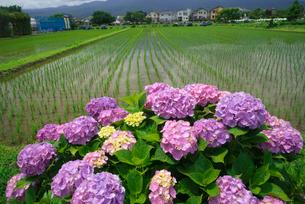アジサイの花と水田の写真素材 [FYI03001984]
