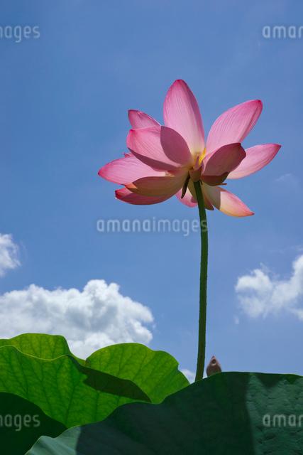 ハスの花の写真素材 [FYI03002022]
