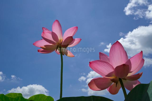 ハスの花の写真素材 [FYI03002024]