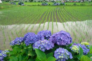 アジサイの花と水田の写真素材 [FYI03002047]