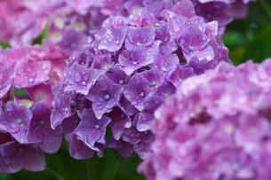 アジサイの花の写真素材 [FYI03002052]