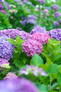 アジサイの花の写真素材 [FYI03002053]