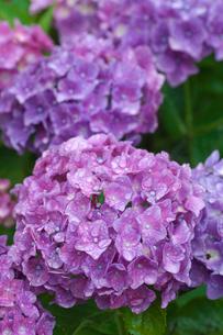 アジサイの花の写真素材 [FYI03002054]