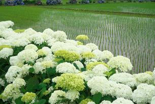 アジサイの花と水田の写真素材 [FYI03002055]