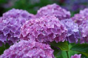 アジサイの花の写真素材 [FYI03002058]