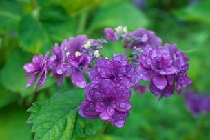 アジサイの花の写真素材 [FYI03002084]