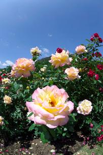 ピンクと黄色のバラの花の写真素材 [FYI03002085]
