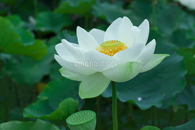 ハスの花の写真素材 [FYI03002086]
