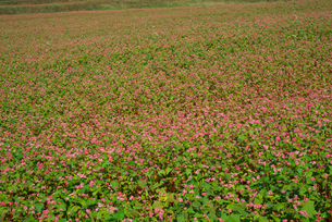 赤ソバの花畑の写真素材 [FYI03002115]