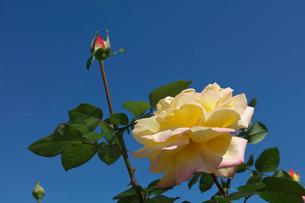 黄色とピンクのバラの花の写真素材 [FYI03002136]