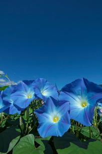 アサガオの花の写真素材 [FYI03002152]