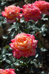 赤と黄色のバラの花の写真素材 [FYI03002170]