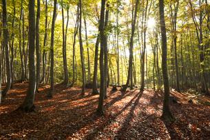 ブナ林の紅葉と木漏れ日の写真素材 [FYI03002203]