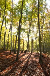 ブナ林の紅葉と木漏れ日の写真素材 [FYI03002206]