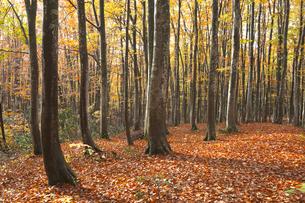 ブナ林の紅葉と落ち葉の写真素材 [FYI03002209]