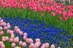 ムスカリとピンクのチューリップの花の写真素材 [FYI03002282]