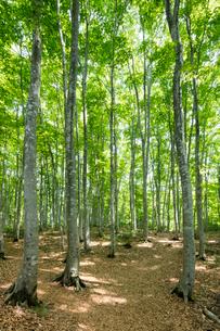 新緑のブナ林の写真素材 [FYI03002311]