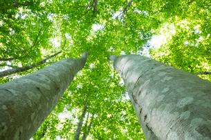 新緑のブナ林の写真素材 [FYI03002312]