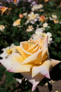 オレンジと黄色のバラの花の写真素材 [FYI03002321]