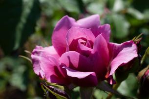 紫のバラの花の写真素材 [FYI03002322]