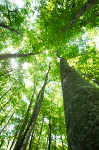 新緑のブナ林と木漏れ日の写真素材 [FYI03002330]