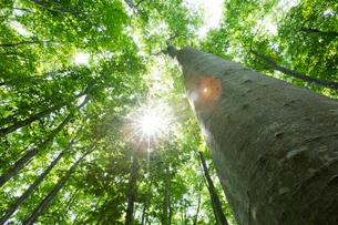 新緑のブナ林と木漏れ日の写真素材 [FYI03002331]
