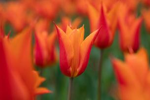 オレンジのチューリップの花の写真素材 [FYI03002340]