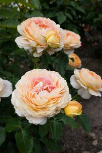 黄色いバラの花の写真素材 [FYI03002376]