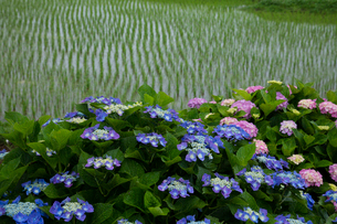 アジサイの花と水田の写真素材 [FYI03002412]