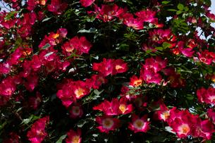 赤いバラの花の写真素材 [FYI03002428]