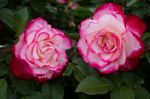 赤と白のバラの花の写真素材 [FYI03002451]