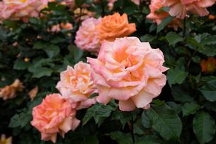 オレンジのバラの花の写真素材 [FYI03002463]