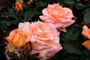 オレンジのバラの花の写真素材 [FYI03002466]