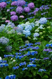 アジサイの花の写真素材 [FYI03002473]