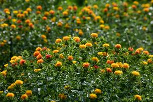 紅花の花の写真素材 [FYI03002504]